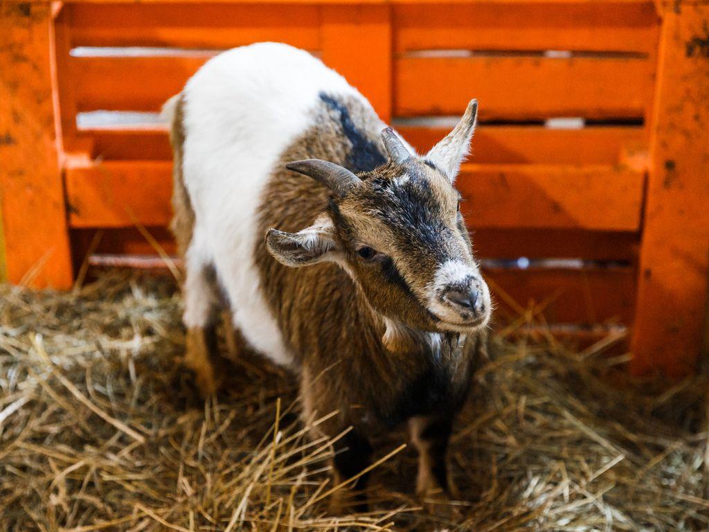 козочки и ламы-альпака
