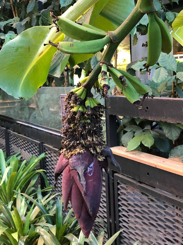 Банан заострённый расцвёл и заплодоносил Аптекарском огороде