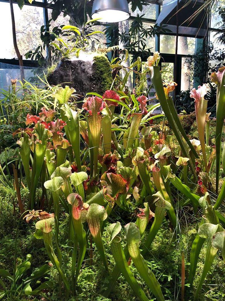 8 ноября Банан заострённый расцвёл и заплодоносил в Ботаническом саду МГУ