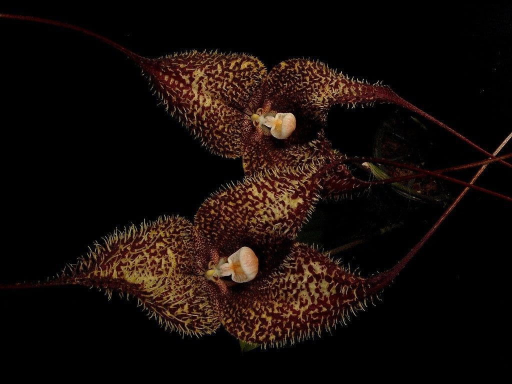 Редкая Орхидея-вампир в Ботаническом саду МГУ Аптекарский огород