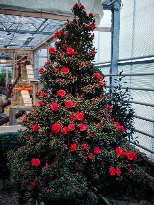 новогоднее дерево в Аптекарском огороде