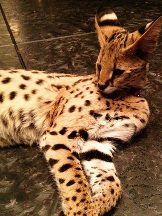 Самый редкий и дорогой кот в Ботаническом саду МГУ