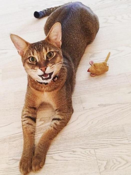 Редкие и дорогие домашние кошки в Аптекарском огороде