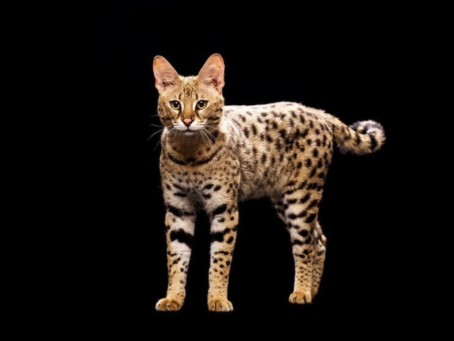 Выставка самых дорогих и редких домашних кошек