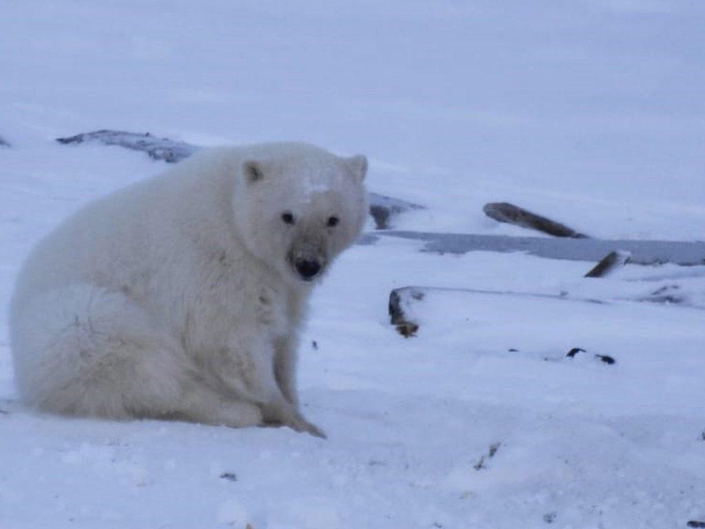 Московский зоопарк принимает участие в проекте сохранению белого медвежонка