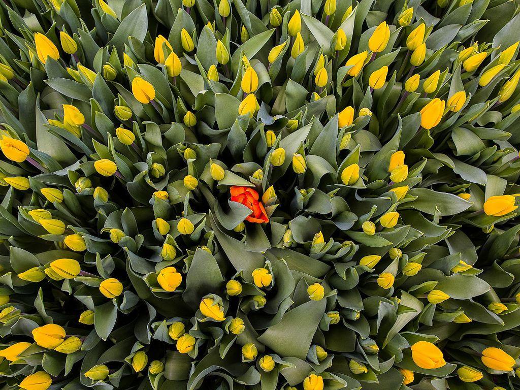 Цветиние тюльпанов на ВДНХ