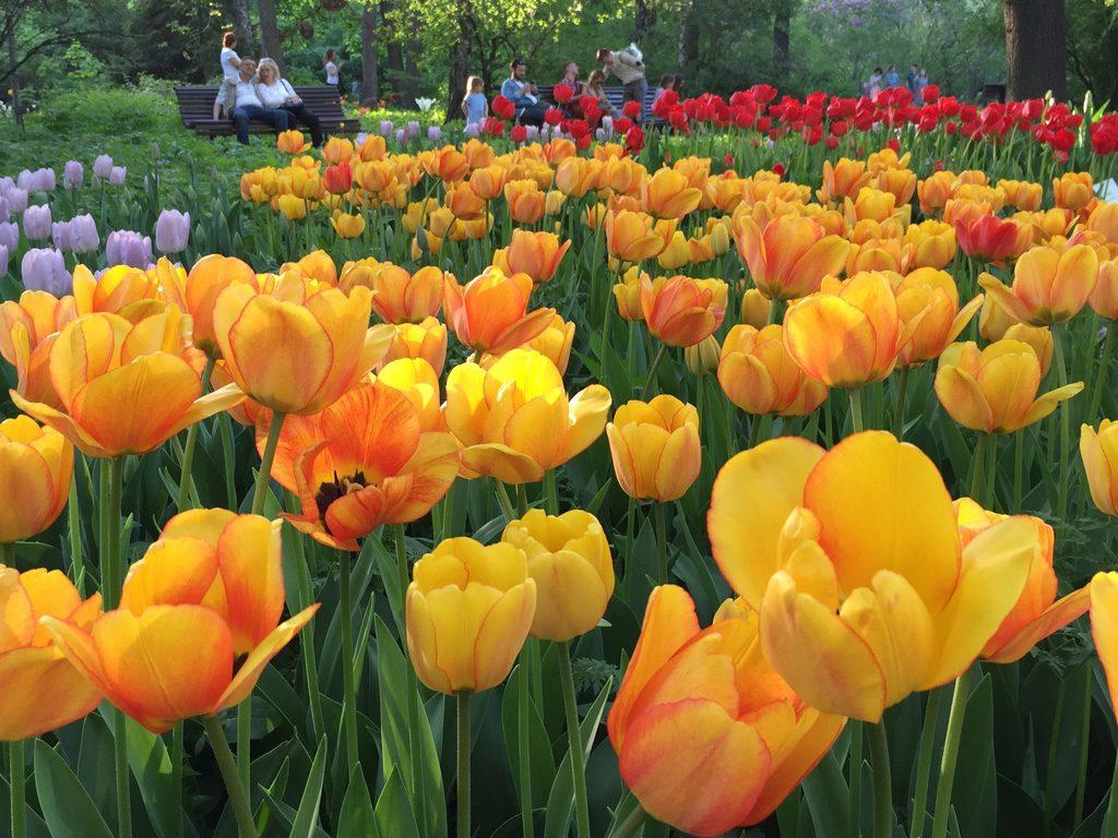 тюльпаны расцвели в аптекарском огороде - фестиваль цветов