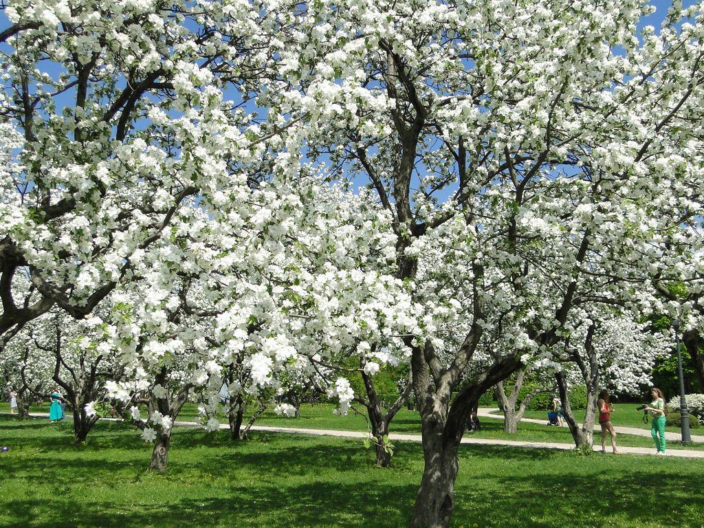 коломенские сады зацвели