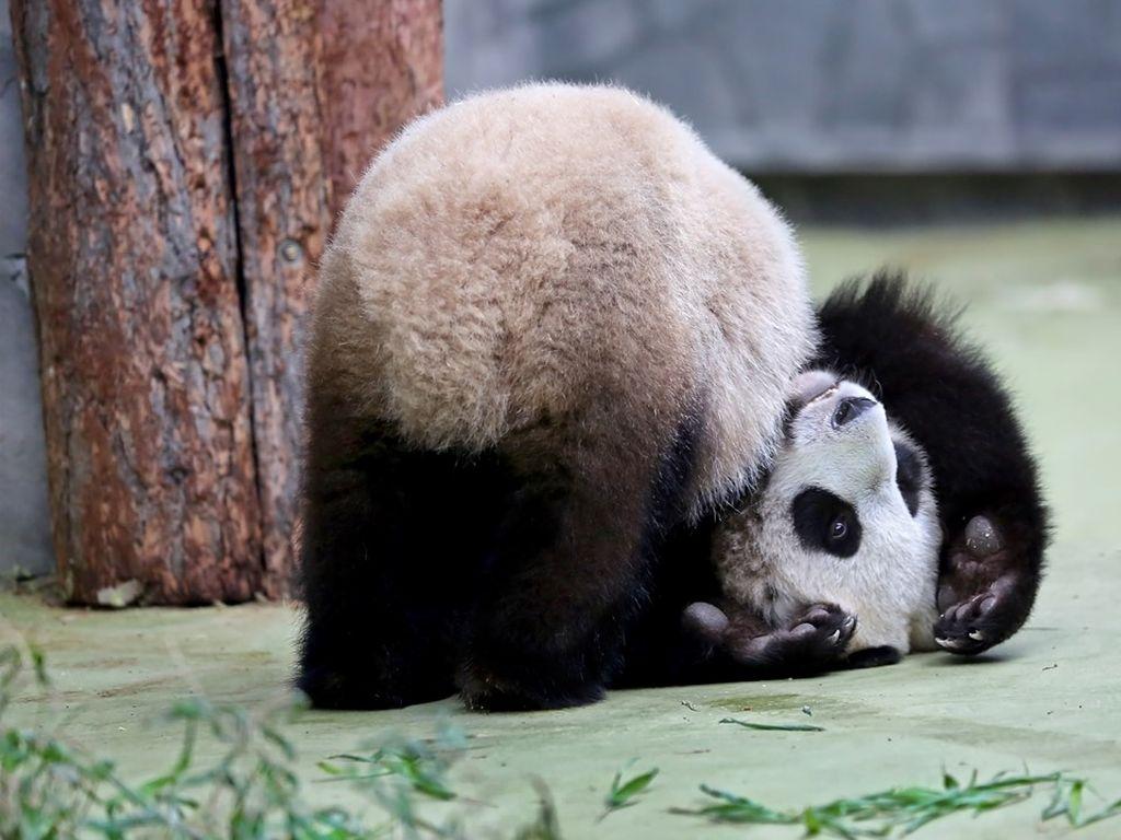 Развлечение у больших панд в зоопарке
