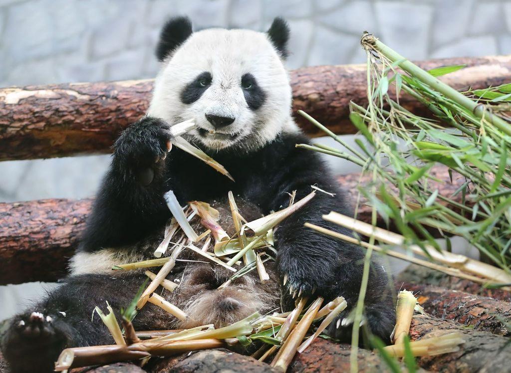 День рождение у больших панд в Московском зоопарке