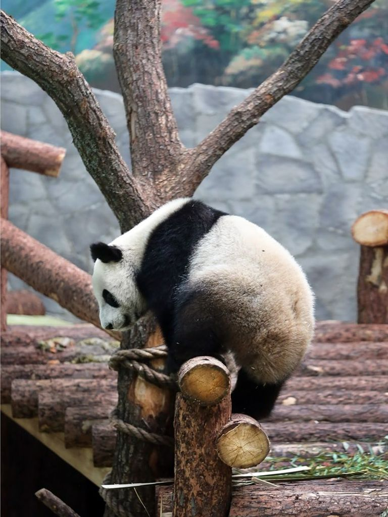 большая панда исследует вольер