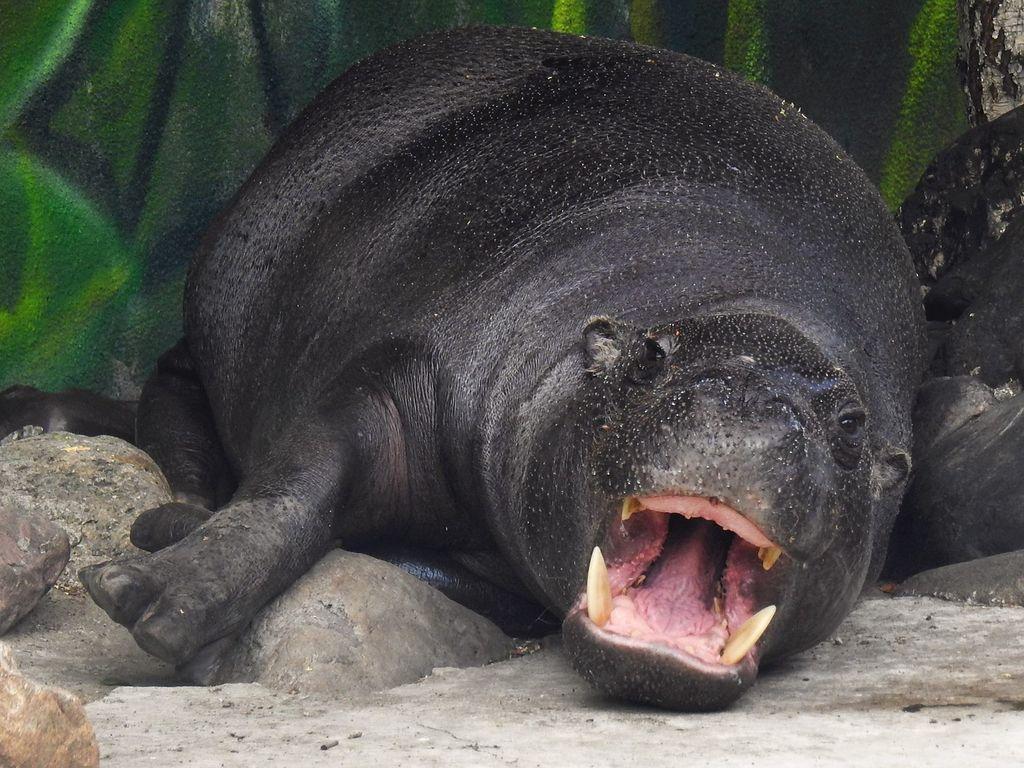 Бегемот в Московском зоопарке