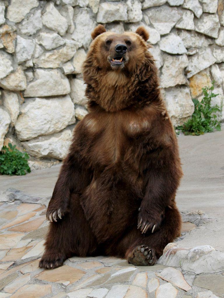 Бурый медведь в Московском зоопарке