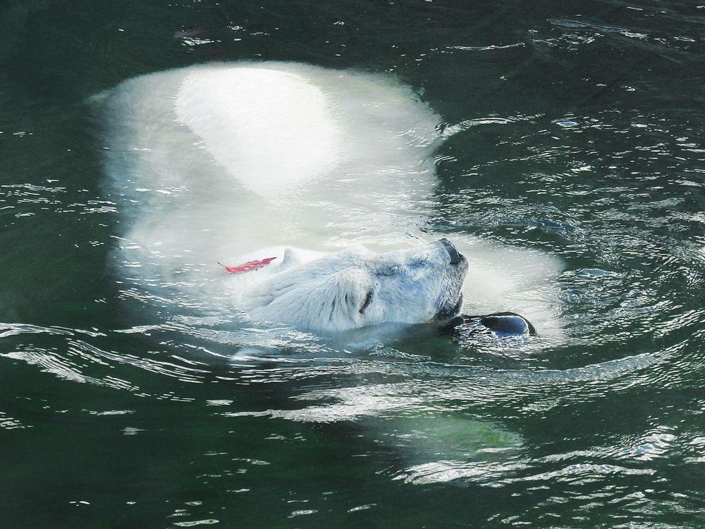 Акция Хочу быть как белый медведь в Московском зоопарке