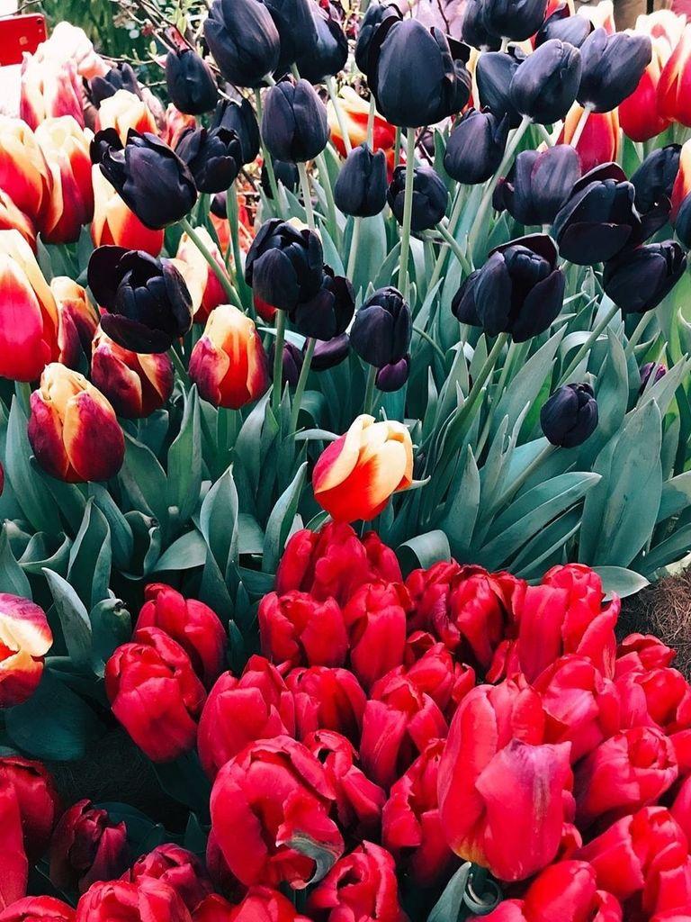 Тюльпаны в Ботаническом саду Аптекарском огороде