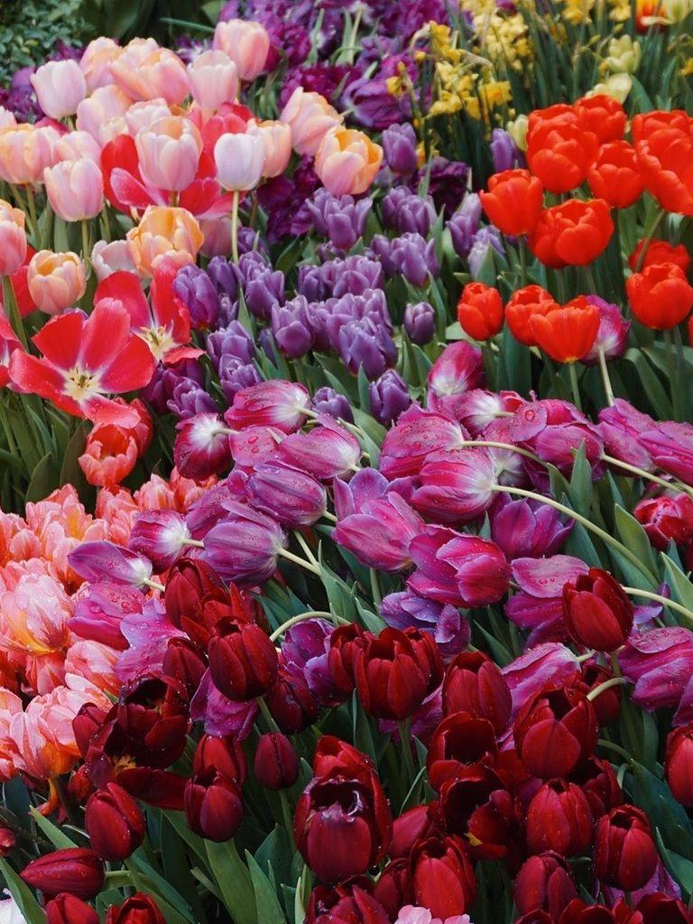 Тюльпаны на выставке в Аптекарском огороде