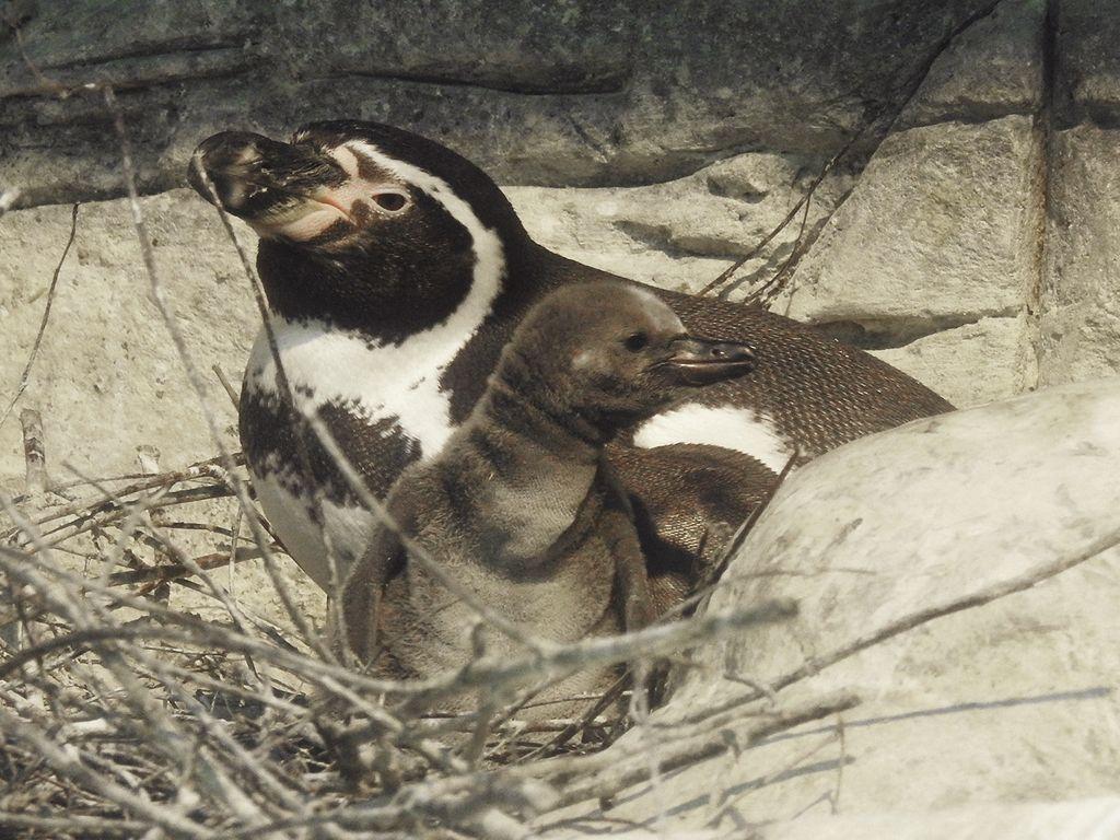 пополнение у пингвинов Гумбольдта в Московском зоопарке