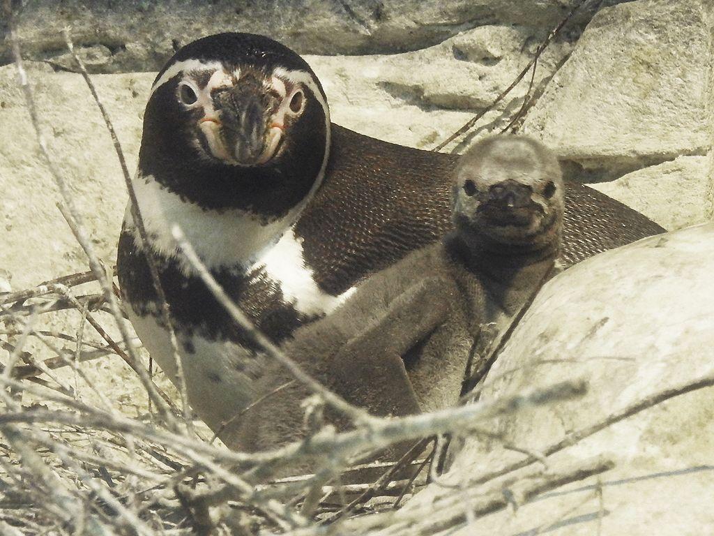 У пингвинов Гумбольдта в Московском зоопарке появилось 5 птенцов