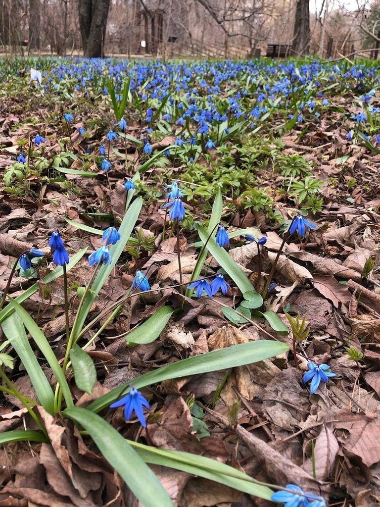 Весенние цветы в Аптекарском огороде