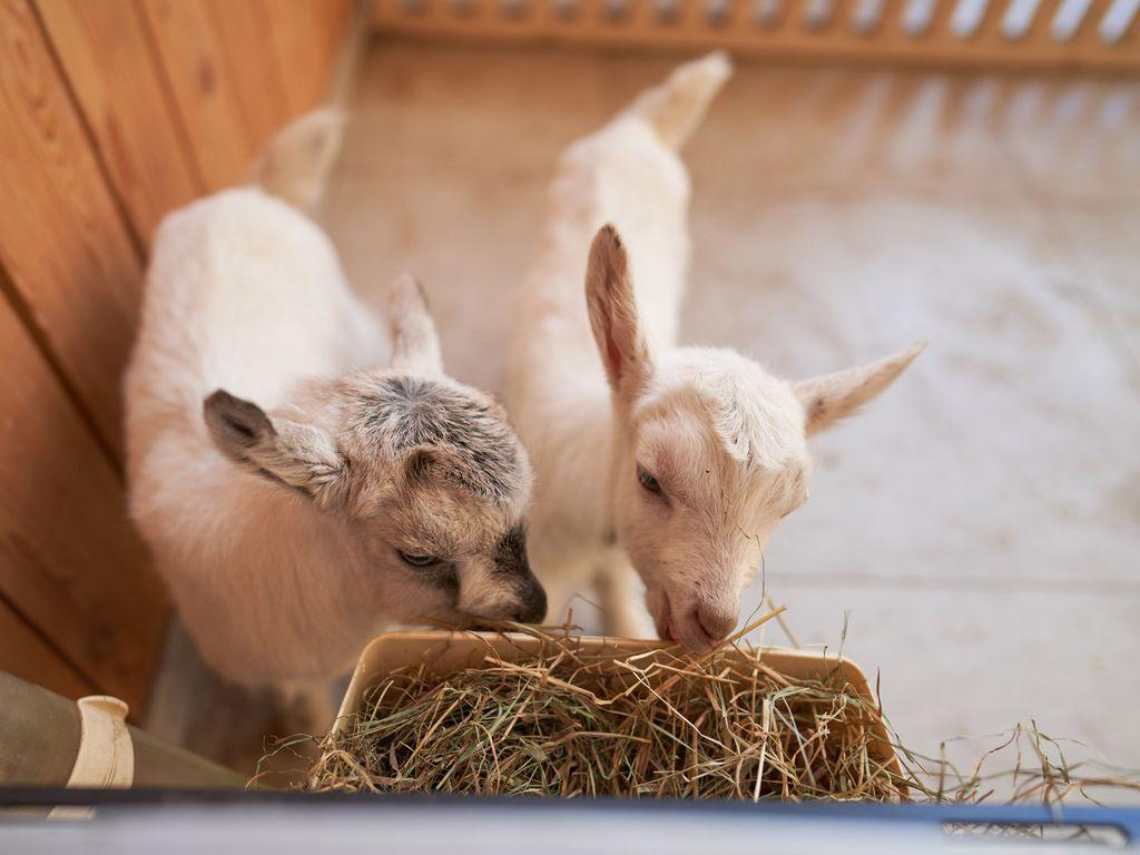 Ветерок и Звездочка: зааненские козлята обрели имена