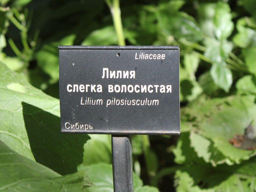 Лилия слегка волосистая в Аптекарском огороде