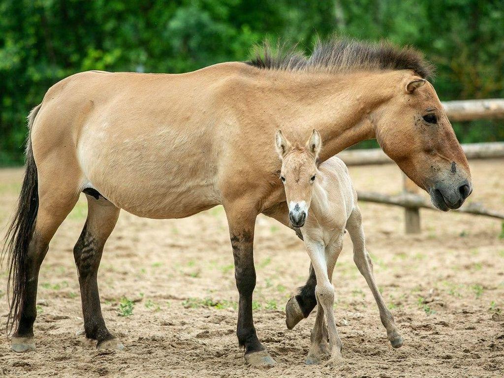Детеныш лошади Пржевальского
