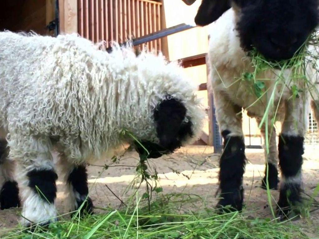 Валлийская овечка в зоопарке