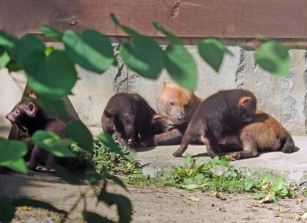 Кустарниковые собаки в зоопарке
