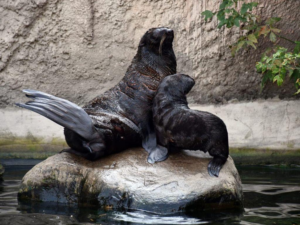 Московский зоопарк: морские котики