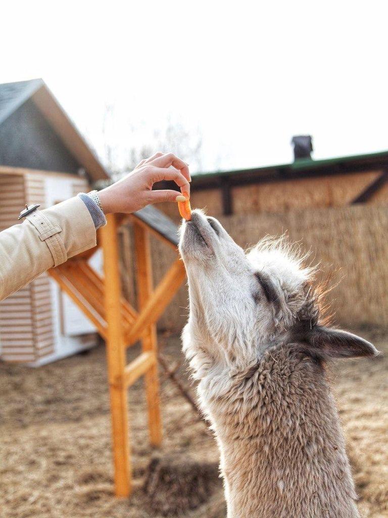 Альпака парк: кормление животных