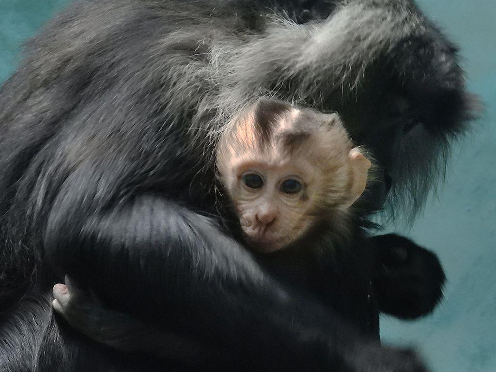 Мама и  малыш львинохвостого макака