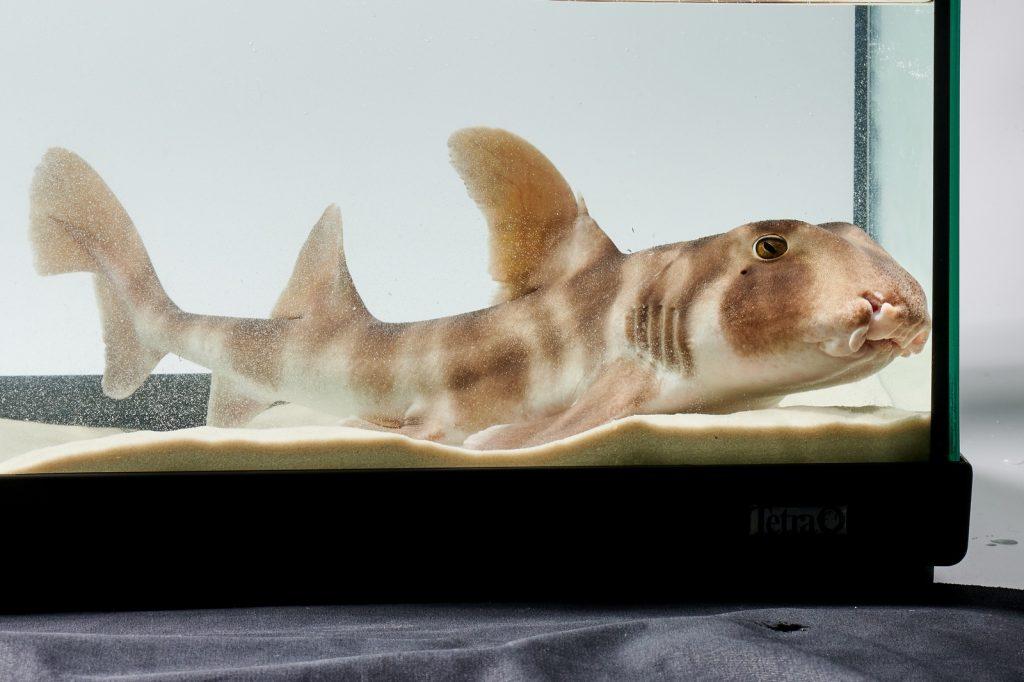 Японские бычьи акулы в Москвариуме