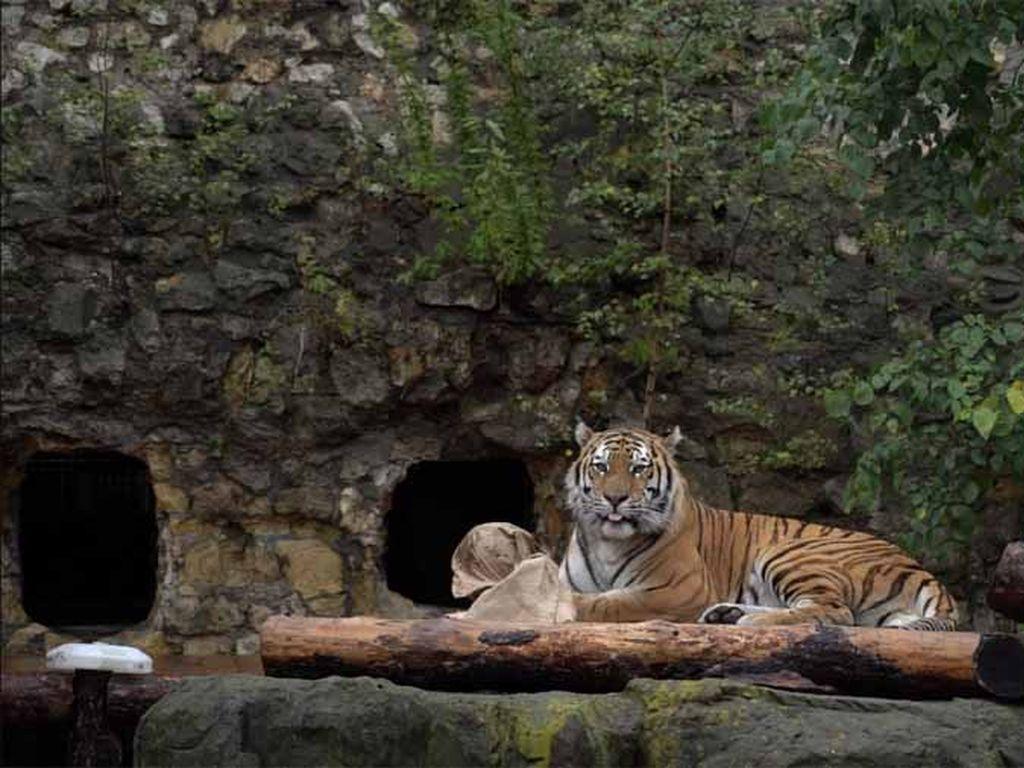 Тигр Степан в Московском зоопарке